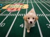 Puppy Bowl VII – The Superbowl doesn't have the market cornered on Roman Numerals!